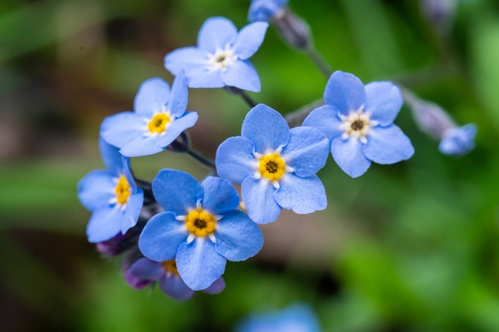 The Forget-Me-Not are flowers that mean unforgettable love.