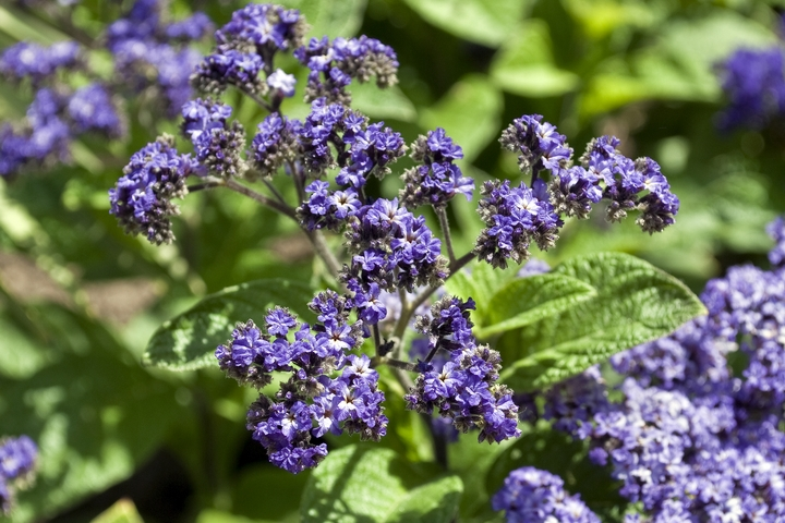 Heliotrope are flowers that mean eternal love.