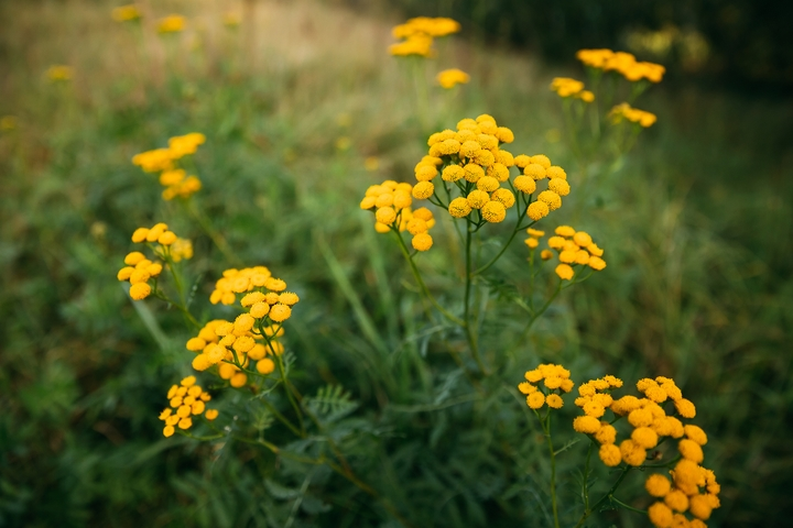 Tansy are flowers that mean the opposite of love.